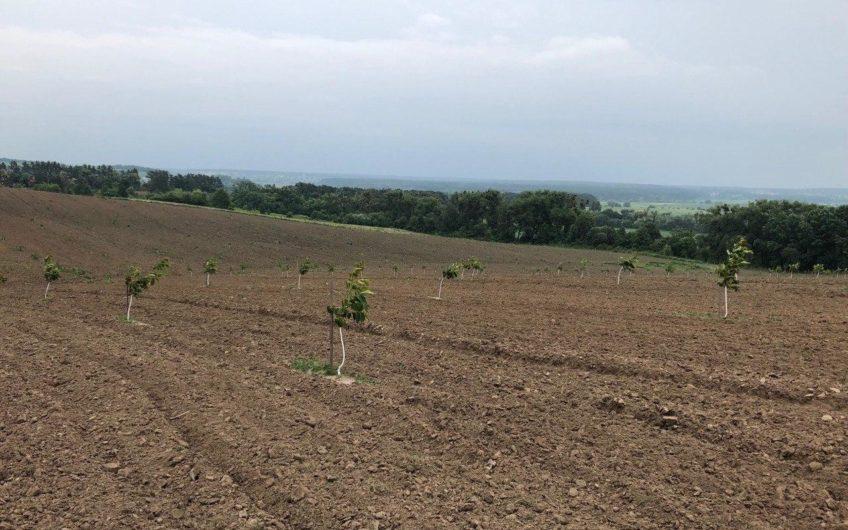 Продажа орехового сада 15 км от Киева, Музычи!